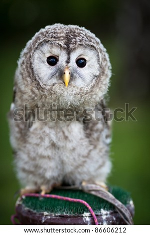 Close up of a baby Tawny Owl (Strix aluco) - stock photo