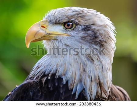 Close up of a Bald Eagle head - stock photo