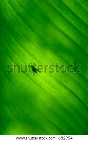 Close-up of a banana palm tree leaf with a fly on it
