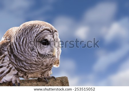 Close-up of a Barred Owl perched on a log with a beautiful blue, cloudy sky background.  The Barred Owl is primarily a bird of eastern and northern U.S. forests. - stock photo