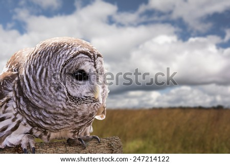Close-up of a Barred Owl perched on a log with a beautiful field and sky background.  The Barred Owl is primarily a bird of eastern and northern U.S. forests - stock photo