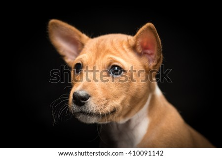 Close-up of a basenji puppy against black background with wrinkles on its face - stock photo