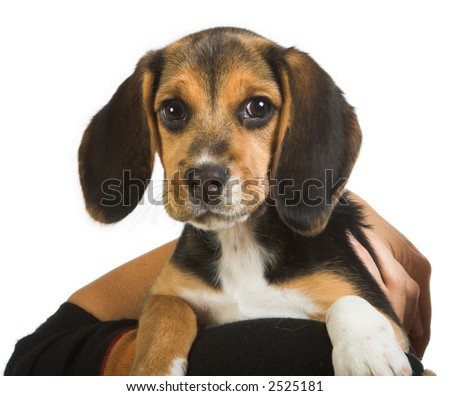 Close up of a beagle puppy dog, with lovely brown eyes - stock photo