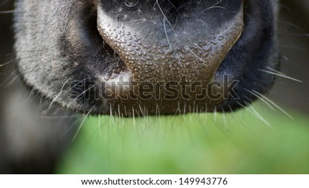close up of a beautiful black snout of a cow - stock photo