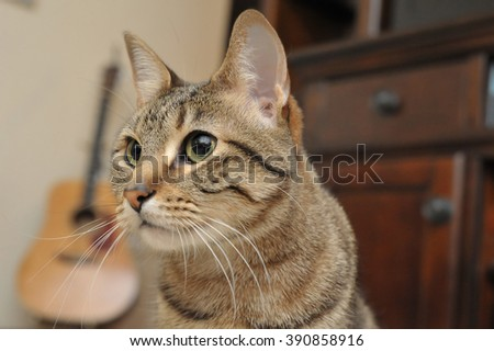 Close up of a beautiful cat in front of a guitar and an entertainment center