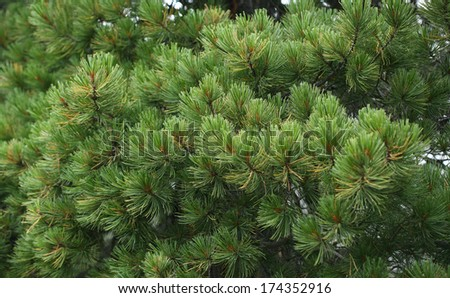 close-up of a beautiful cedar branch in early summer morning dew - stock photo