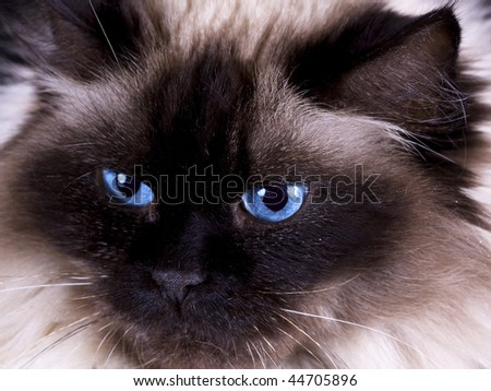 Close-up of a beautiful long haired rag doll cat - stock photo