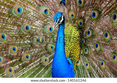 Close up of a Beautiful male peacock with his open feathers