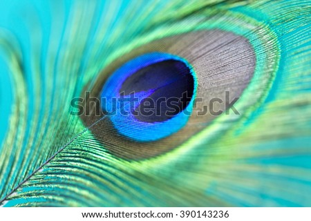 Close up of a beautiful peacock feather - stock photo