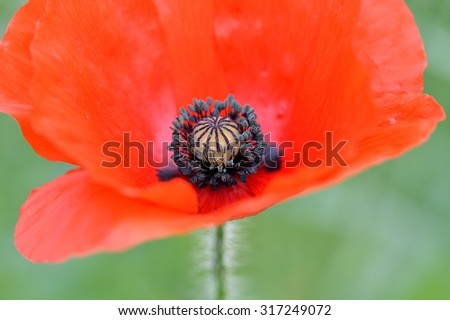 Close up of a beautiful red Flanders poppy flower (Papaver rhoeas). Soft focus. - stock photo