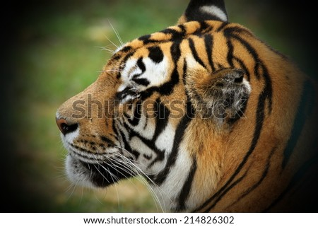close up of a beautiful tiger head - stock photo