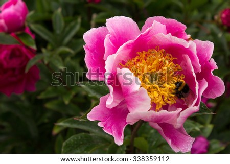 Close Up of a Bee on a Pink Flower.