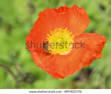 Close up of a bee pollinating a deep orange poppy flower