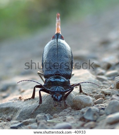 Close-up of a beetle giving birth on a rock. - stock photo