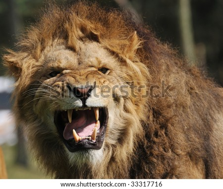 Close-up of a big angry African male lion