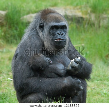 close-up of a big female gorilla holding a baby - stock photo