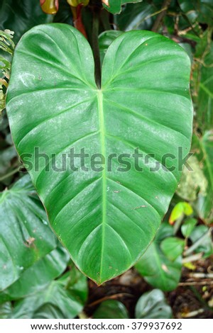 Close up of a big green leaf - Philodendron - stock photo