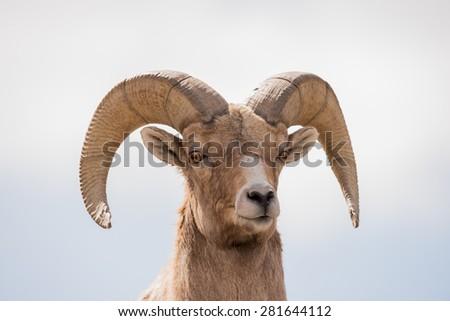 Close up of a Big Horn Sheep ram; head shot facing photographer  - stock photo