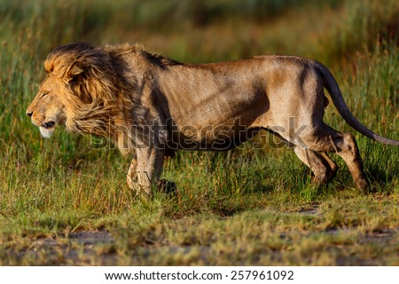 Close up of a big Lion running in the Marsh of Ndutu in Ngorongoro Conservation Area, Tanzania - stock photo
