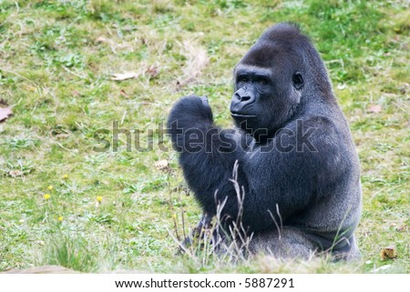 close-up of a big male gorilla