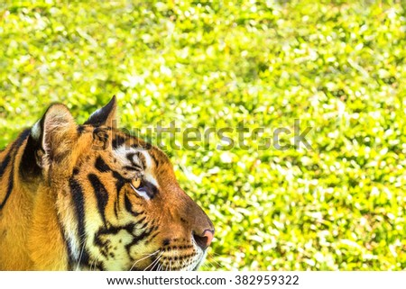 Close up of a big tiger outdoor in Thailand, Asia. Side view. green grass background as copy space. - stock photo
