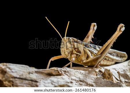 Close up of a big yellow grasshopper - stock photo