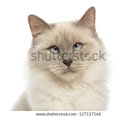 Close-up of a Birman looking at camera, crossed-eyes against white background - stock photo