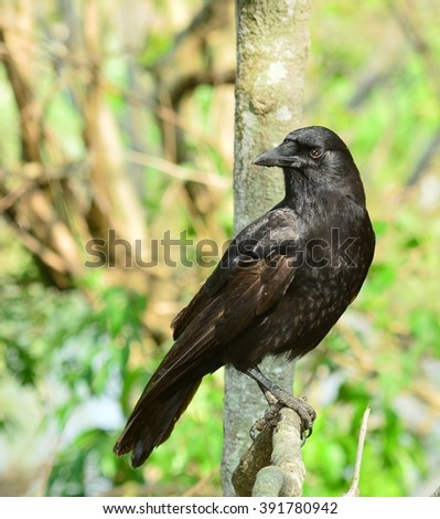Close up of a black and brown Fish Crow bird, (Corvus ossifragus), perched on a tree limb.