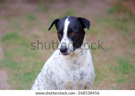 close up of a black and white dalmatian dog no purebred. - stock photo