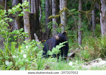 Close up of a black bear hiding in the forest in British Columbia Canada. The American black bear is a medium-sized bear native to North America. Black bears are omnivores. - stock photo