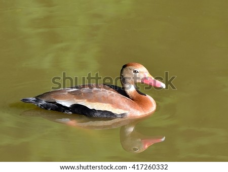 Close up of a Black Bellied Whistling Duck, (Dendrocygna autumnalis), swimming, with reflection in water - stock photo