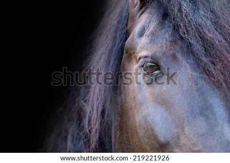 Close up of a black Friesian / Frisian stallion horse face eye mane isolated with black background - stock photo