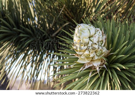 Close up of a Bloom on a Joshua Tree in Southern California - stock photo