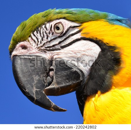 Close up of a Blue and Gold Macaw - stock photo