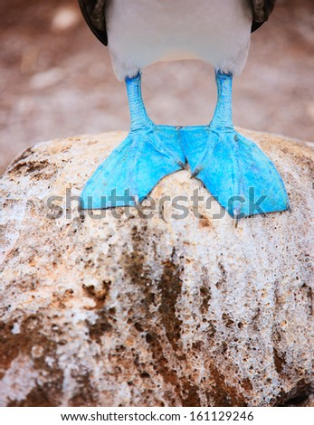 Close up of a blue footed booby feet - stock photo