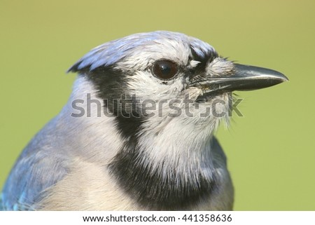 Close-up of a Blue Jay (corvid cyanocitta) with a green background - stock photo