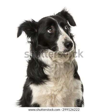 Close-up of a Border Collie in front of a white background - stock photo
