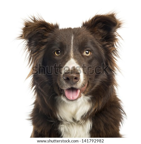 Close-up of a Border Collie panting, 9 months old, isolated on white - stock photo