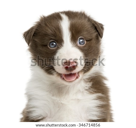 Close-up of a Border Collie puppy (6 weeks old) in front of a white background - stock photo