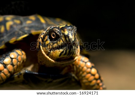 Close up of a box turtle. - stock photo