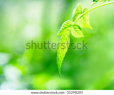 Close up of a branch of a raspberry against wood greens - stock photo