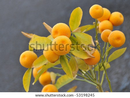 Close-up of a branch with mature mandarins. - stock photo