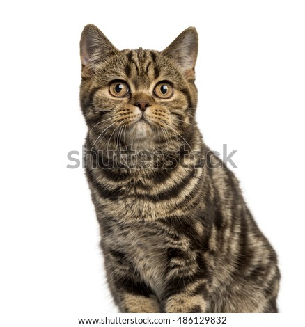 Close-up of a British Shorthair cat looking up isolated on white