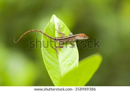 Close up of a Brown Anole lizard on a green leaf - stock photo