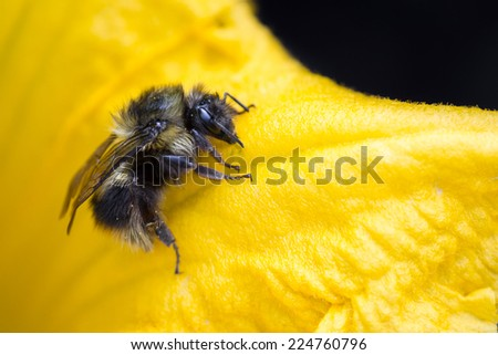 close up of a bumble bee crawling on a yellow squash flower - stock photo
