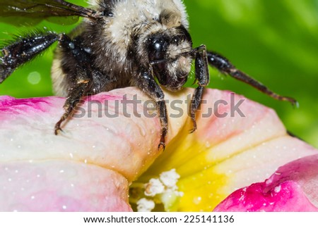 close up of a bumble bee on a colorful petunia - stock photo