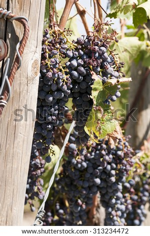close-up of a bunch of grapes in a vineyard in Italy