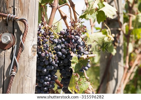 close-up of a bunch of grapes in a vineyard in Italy - stock photo