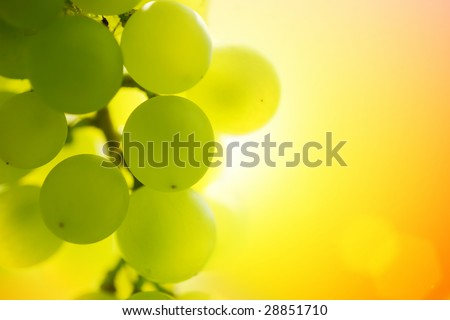 Close-up of a bunch of grapes on grapevine at susnset. Shallow DOF. - stock photo