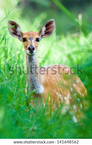 Close up of a Bushbuck Deer in the forest - stock photo